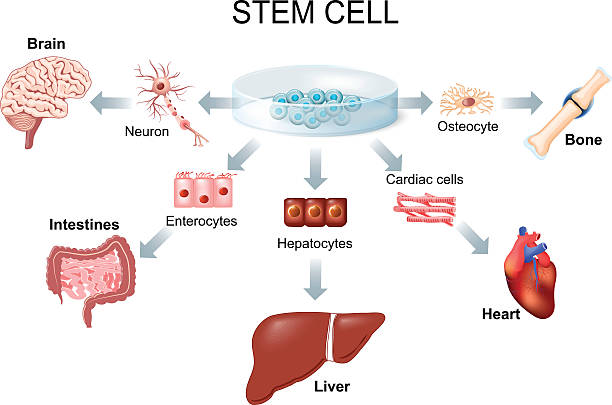 Body source stem cell